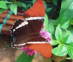 Картинки по запросу Бабочки из Бразилии и Перу