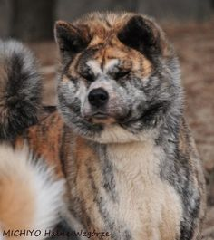 Akita...what beautiful colors on this Brindle!