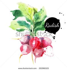 Radish with leaf. Hand drawn watercolor painting on white background. Vector illustration - stock vector