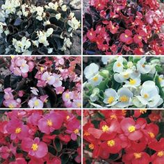 Begonia Sahara bedding plants Begonia, Flower Beds, Color Mixing, Bedding, Gardens, Colours, Rose, Flowers, Plants