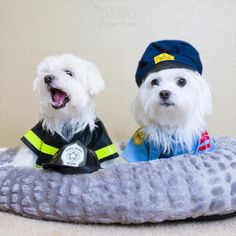 Because of your love for us, we are still working today! Happy Labor day! A-Rod: mom…where is my ribs? #laborday #love #arodwang #maltese #puppylove #dogsofinstagram #firefighter #whitedog #fluffy #police #popsugarpets #love #puppy #raisblack #bestofpack #cute #말티즈 #マルチーズ #dog #dogmodel #犬 #狗
