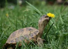 Are you thinking of buying a tortoise to keep? Tortoise pet care takes some planning if you want to be. Horsefield Tortoise, Russian Tortoise, Weeds In Lawn, Turtle Love, Young Animal, Reptiles And Amphibians, Tortoises, Little Pets, Habitats