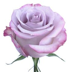Wholesale Rose Purple Haze 50 cm. - Blooms by the Box