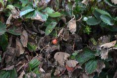 Hongo ataca cultivos de fresa en Honduras Un hongo que, según expertos, es provocado por efectos del cambio climático en la exuberante montaña de La Tigra, al noreste de la capital de Honduras, está afectando los cultivos de fresa en esa localidad. • El Nuevo Diario