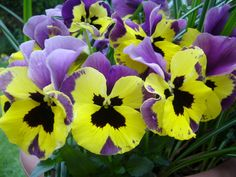 Purple & Yellow Pansies   One of my favorite color combos for the garden~T~