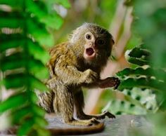 A startled Pygmy Marmoset monkey at the Tropikariet - by Mark Finney/Getty Images Marmoset Monkey, Pygmy Marmoset, Cute Monkey, Creature Comforts, Fauna, Funny Animal Pictures, Beautiful Creatures, Cute Animals, Wildlife