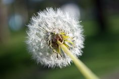 Dandelion 3 by Maurogo  on 500px