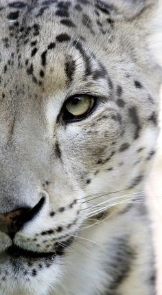 Clouded Snow Leopard