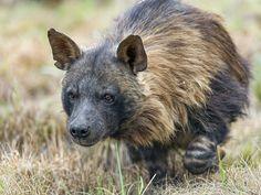 Walking brown hyena by Tambako the Jaguar on Flickr.