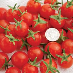 Sweet Aperitif Tomato: tiny, heavy producer, tasty || Territorial Seed Co