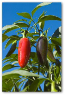 Growing Jalapeno Peppers, How to Grow Jalapeno Peppers, Planting Jalapenos