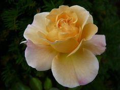 ~Climbing Rose 'Pas de Deux'