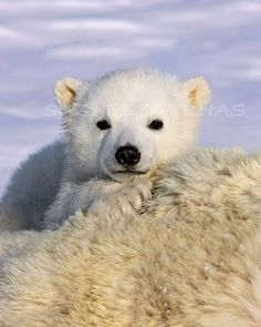 #BABY POLAR BEAR Photo - 8 X 10 Print - Baby #Animal #Photograph, Wildlife Photography, Wall Decor, Nursery Art, Cute, Love, White, #Blue, Ice. $25.00, via Etsy.