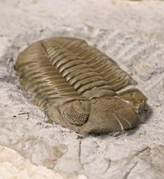 Phacops rana milleri  // trilobite from Lucas County, Ohio.  Peering Into Trilobite Eyes to See the Evolution of Vision - Visual Science | DiscoverMagazine.com