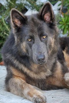 Westside German Shepherd Rescue of Los Angeles Blue German Shepherd, German Shepherd Rescue, German Shepherds, Sweet Dogs, Cute Dogs, Dog Photos, Dog Pictures, Malinois, Shelter Dogs