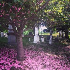 Cherry blossom shedding it's pedals at Greenwood Cemetery. Greenwood Cemetery, Cherry Blossom, Brooklyn, Shed, Plants, Beautiful, Plant, Cherry Blossoms, Barns
