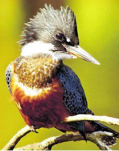Martin Pescador Big Bird, Small Birds, Pet Birds, Colorful Animals, Colorful Birds, Beautiful Birds, Beautiful Butterflies, Animals And Pets, Cute Animals