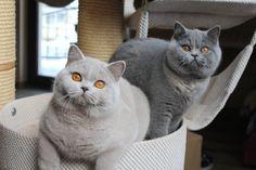 Amo essa raça de gato. Muito lindo