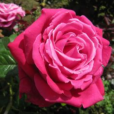 ~Hybrid Tea Rose 'Birthday Boy'