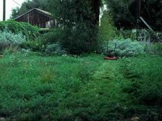 yarrow lawn. Drought resistant, 70% less water than grass, non-evasive, hardy under foot traffic, recommended for pets, can be economically grown from seed, small flowers weed whacked after blooms fade, plant in fall, does best on poor soil, do NOT fertilize, listed as toxic :(
