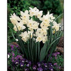 Search results for: 'Triandrus-Tresamble-Daffodil-Bulbs Daffodil Bulbs, Bulb Flowers, Daffodils, Wild Bird Food, Wild Birds, Hardy Plants, Growing Flowers, Garden Furniture, Perennials