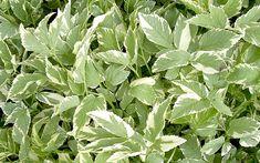 Geißfuß, weißbunt (Pflanze) Schattenpflanze Wuchert nicht so wild wie Giersch! Junge Blätter im Salat oder in Suppen und Frühlingsspinat. Er ist ebenso wie sein aggressiv wuchernder Verwandter eine Heilpflanze, die schon von der heiligen Hildegard von Bingen geschätzt wurde.