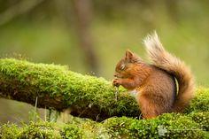 Red Squirrel Praying by Will Nicholls on 500px