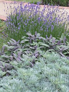 Artemisia, Salvia, Lavendula, Wormwood, Purple Sage And Lavender Sensory Garden Herbs Modern Landscaping, Front Yard Landscaping, Landscaping Ideas, The Secret Garden, Sensory Garden, Dry Garden, Garden Path, Xeriscaping, Garden Pictures