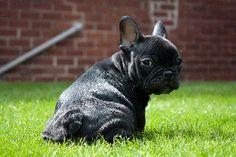 Cute black french bulldog :))