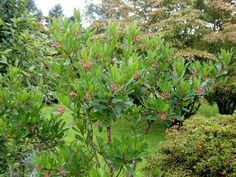 """Arbutus Unedo """"Strawberry Tree"""" with a profusion of flowers - for the first time!"""