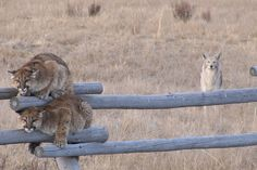 coyote y pumas Coyote S, Coyote Hunting, Coyote Pack, Lion Hunting, Pumas, Wild Life, Animals And Pets, Cute Animals, Wild Animals