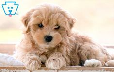 This little cutie is a Maltipoo puppy sure to keep you on your toes. He is raised with children, social and sweet as can be and sure to draw attention Maltipoo Puppies For Sale, Cute Dogs And Puppies, Getting A Puppy, Cutest Animals, Animals Beautiful, Blessed, Pets, Board, Happy