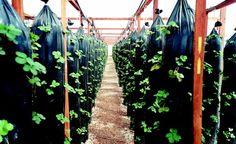 Produção de morango usando a técnica da hidroponia vertical