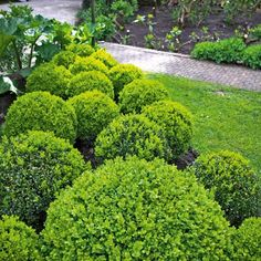 Box is the most popular choice for hedging and is the best choice for a more formal look. Its slow growing tendency means it will not provid...