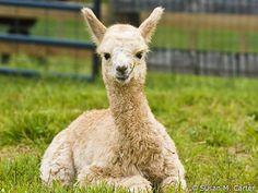 Hi there, #alpaca!