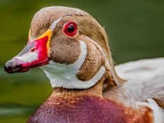 Apricot Wood Duck - Source: Google Bird Images/ - Wikipedia Commons.