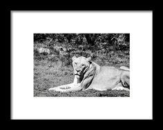 Animal Framed Print featuring the photograph Lionness by Pamela Williams