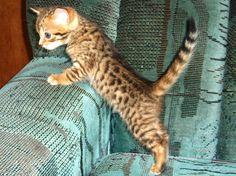 I want a house-cat that looks like a leopard.