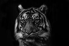 white and black tiger painting photo – Free Animal Image on Unsplash Bronx Zoo, Wildlife Safari, Wildlife Art, Tobias, Grand Chat, Wildlife Protection, Le Zoo, Tiger Painting, Hero Movie