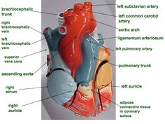 Image result for a labeled heart diagram documents pinterest anatomical heart labeled google search ccuart Images