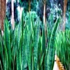 O poder da planta espada de são jorge