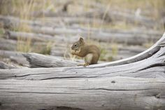 https://flic.kr/p/CMSfjC | Yellowstone: Chipmunk (2)