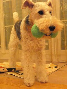 Wire Fox Terrier - do they have knees? When they walk, their legs don't seem to bend at zee knees.