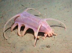 Sea Pig - These creatures have tentacles as well as large tubed feet which it uses to push dead organic ooze into its mouth to feed on. In order to move about, the Sea Pig will inflate its legs using water cavities within the skin.