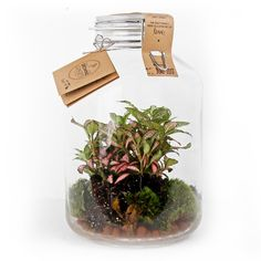 Fittonia in weckpot Platycerium, Lifestyle Store, Planting Flowers, Diys, Sweet Home, Jar, Indoor, Concept, Floral