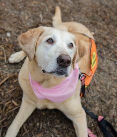 Abby Senior | Labrador Friends of the South