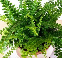 "Hirt's Lemon Button Fern 4"" Pot - Nephrolepis cordifolia Duffii"
