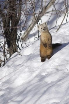 Ermine. Like snow fox mixed with an otter