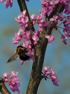Eastern Redbud (spring), a small tree perfect for an urban front yard. Because it's a native species to the Northeast, it supports wild bees.