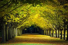 Tree Lined Avenue in Autumn, Anglesey Abbey Landscape Gardens, Cambridge, UK…